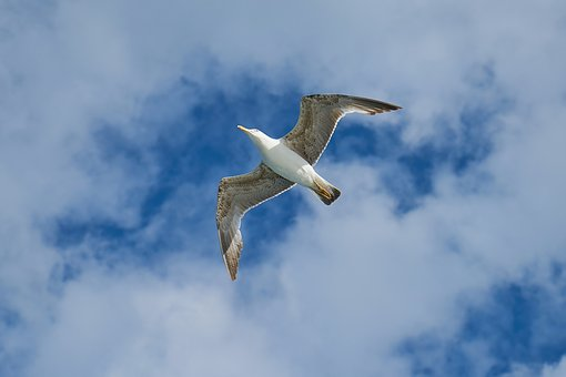 Pixaby seagull-2349031__340